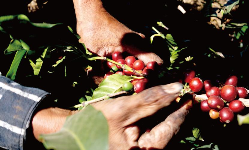 グァテマラ カンデラリア農園 カツーラ