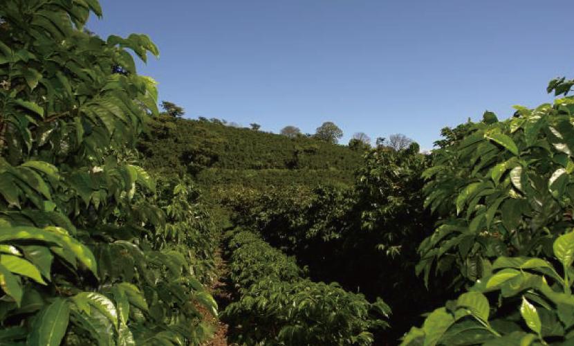 パナマ エスメラルダ農園 パルミラ