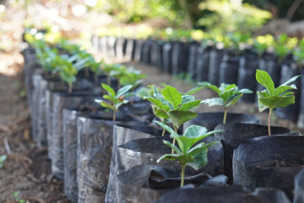 グァテマラ ブエナビスタ農園 ゲイシャ